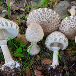 Macrolepiota Excoriata 21-11-2014 11-45-28